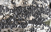 Large flock of common guillemots (Uria aalge) in the steep bird cliff of Hornøya, Finnmark, Norway.
