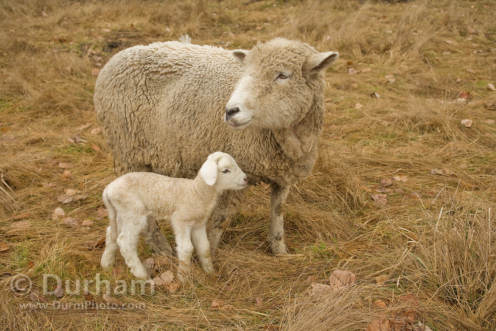 A mother ewe and newborn lamb on a small family farm. Sauvie Island, Oregon. Property released.