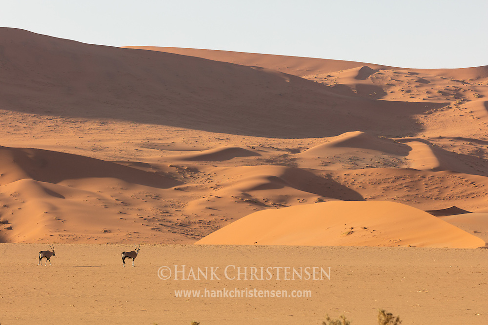 Two gemsbok walk in front of a massive red sand dune, Namib-Naukluft National Park, Namibia.