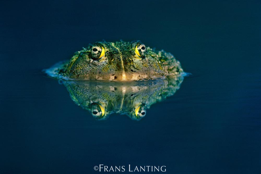 African bullfrog, Pyxicephalus adspersus, Okavango Delta, Botswana
