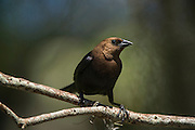 Brown-headed Cowbird (Molothrus ater)<br /> Little St Simon's Island, Barrier Islands, Georgia<br /> USA<br /> HABITAT & RANGE: Semi-open country of temperate to subtropical North America