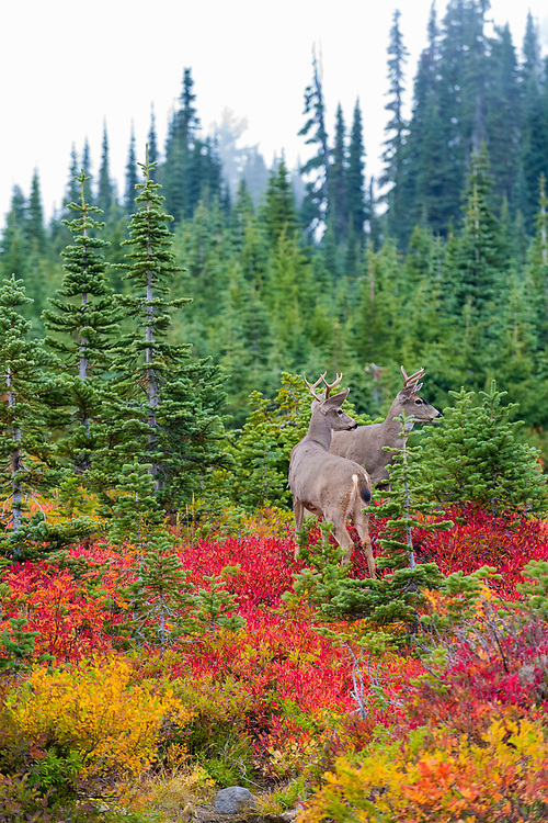 Male mule deer looking off into the distance at Paradise, Mt. Rainier National Park, Washington.