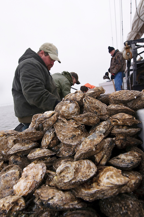 © David Trozzo-- 3/31/2008 Annapolis, Maryland, last day of oyster season aboard the Skipjack Helen Virginia