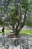 The only tree to survive 9/11 was recovered from the rubble, nursed back to health, and replanted on the site of the 9/11 Memorial.