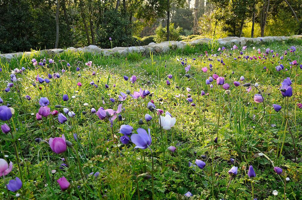 France, Languedoc Roussillon, Hérault, Montpellier, Château de Flaugergues, Folie, jardin au printemps, anémones