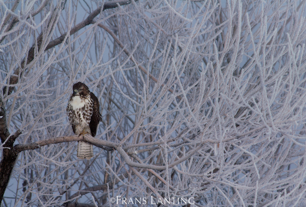 Red-tailed hawk in frost-covered tree, Buteo jamaicensis, Klamath Basin  Nat Wildlife Refuge, California