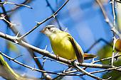 Yellow Flycatchers