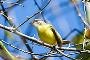 Yellow Flycatchers