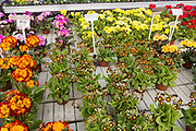 Display of bright polyanthus plants Ladybird Nurseries garden centre, Gromford, Suffolk, England, UK - Polyanthus Victoriana Gold Lace