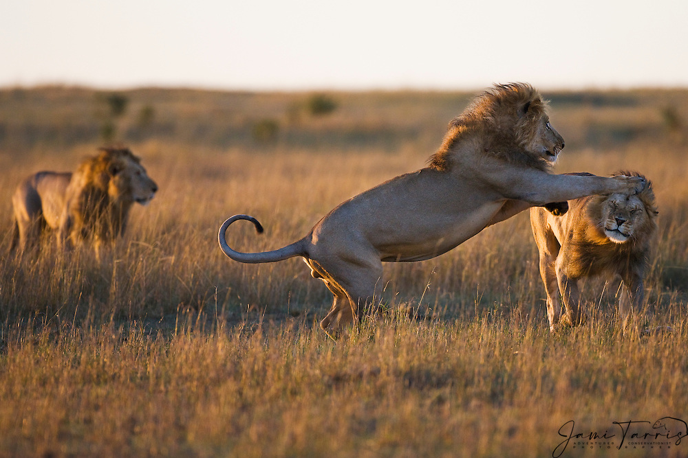 A coalition of three large male lion siblings play in the morning light; ; the African lion (Leo Panthera) lives in prides consisting of two to twelve related females and their young, and dominant males. Males may form a coalition of two to six, and hold tenure over the prides until challenged. Large males may exceed 250kg ( 550 lbs) in weight and are the second-largest living cat after the tiger,  Masai Mara, Kenya