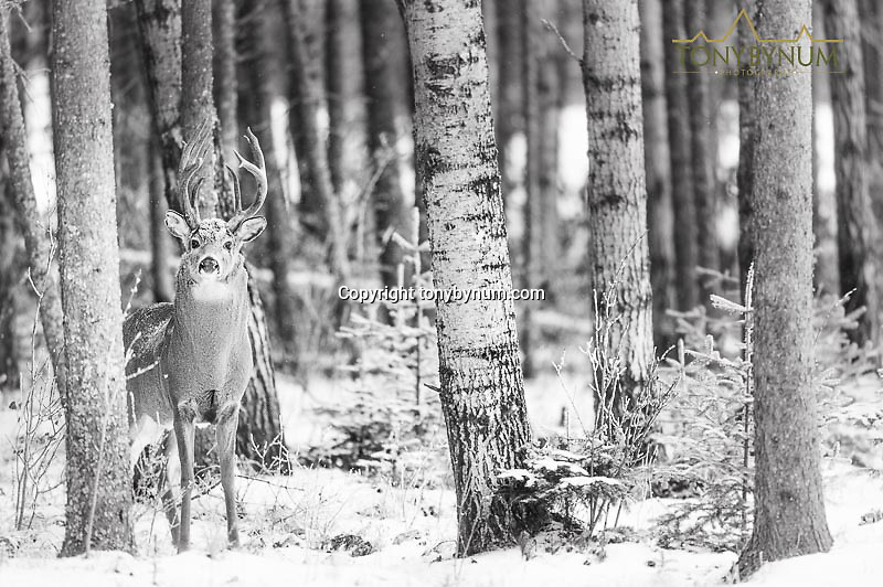 white tail deer standing in mixed forest in snow