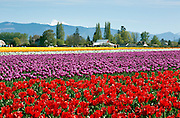 WA13075-00...WASHINGTON - Colorful field of tulips blooming at RoozenGaarde Bulb Farm near Mount Vernon with Mouny Baker in the distance.