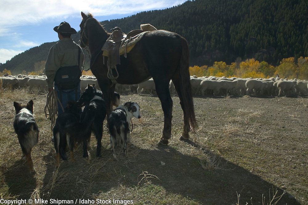 A Basque sheepherder and his dogs watch over his flock. Trailing of the Sheep, Ketchum, Blaine County, Idaho. A  Basque sheepherder tradition and Idaho cultural event.