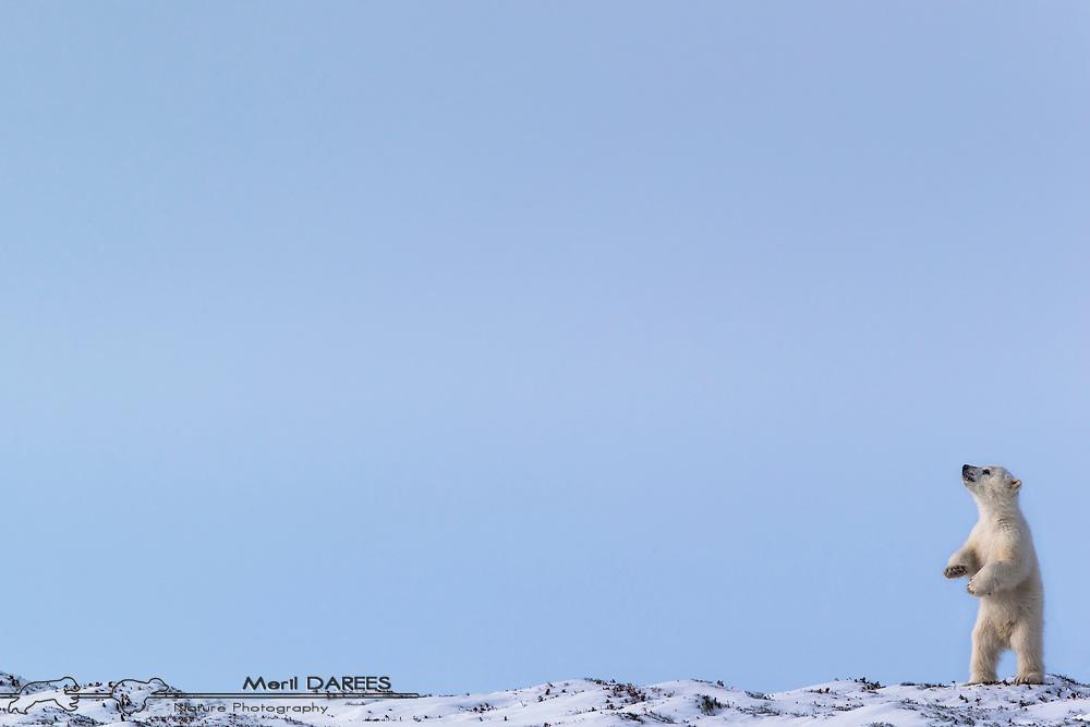 Polar bear cub standing on a ridge. Hudson bay, Churchill Area, Manitoba, Canada.