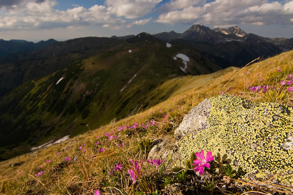 Blooming of Least primrose (Primula minima) on slope in the Liptovske kopi. Western Tatras, Slovakia. June 2009. Mission: Ticha