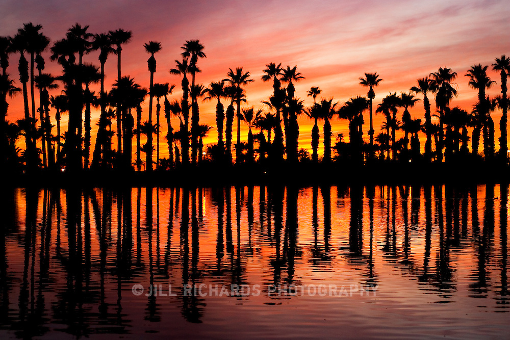 Papago Park sits between Phoenix and Tempe in Arizona. It's hilly desert of red rocks of unusual shapes makes it a Phoenix Point of Pride. Pictured is one of the small Papago ponds and palm trees silhouetted against a classic Arizona sunset of reds, oranges, and purples.