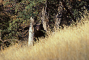 Black Bear in Tall Brown Grass, Sequoia and Kings Canyon National Park, California