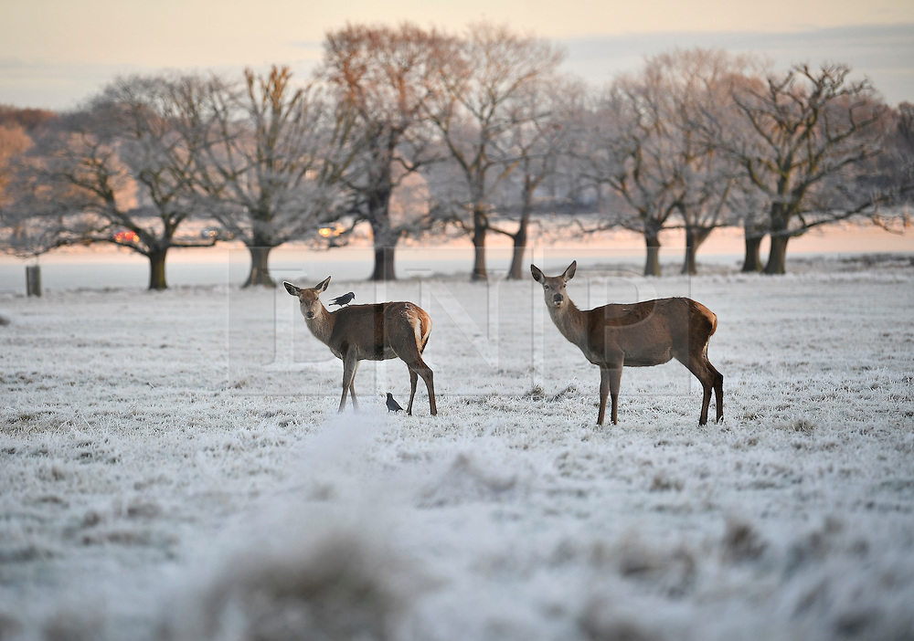 © Licensed to London News Pictures. 03/01/2017. London, UK. Deer stand in frost covered landscape at sunrise in Richmond Park in London as temperatures in the capital drop below zero. . Photo credit: Ben Cawthra/LNP