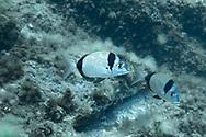 Common two banded seabream-Sar à tête noire (Diplodus vulgaris) of Mediterranean sea.