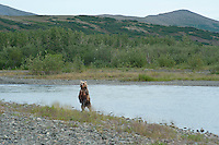 Juvenile Grizzly Bear Stands for a better look...shot on the Kanektok River, Alaska, USA..