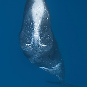 Male sperm whale (Physeter macrocephalus) with lots of scars on his head and forehead, many of which appeared to be parallel scars from encounters with other male sperm whales. The accumulated scars may have contributed to the whitened appeared of the whale's forehead.