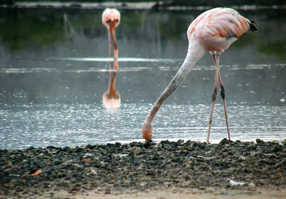 Galapagos flamingos are found on the islands of Floreana, Isabella, Santiago, and Rabida.