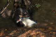 Giant Otter Eating Fish (Pteronura brasiliensis) HABITUATED. Part of Karanambu Otter Trust to be reabilitated.<br /> Savannah<br /> Rupununi<br /> GUYANA. South America<br /> RANGE: Orinoco, Amazon, and Guianas river systems<br /> IUCN: ENDANGERED SPECIES