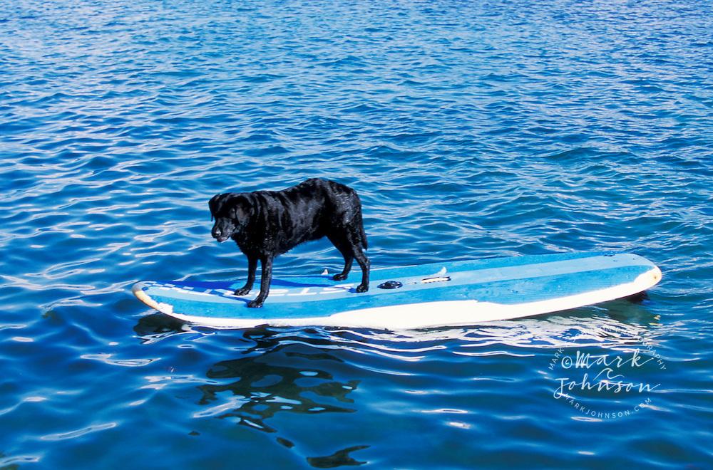 Dog on surfboard, Oahu, Hawaii