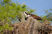 A female osprey calls for her mate from the nest. Her mate kept busy bringing her sticks,limbs and other grasses and weeds to continue the nest buildlig process. Most of this pairs nest structure has been built but the lining need to be to the females liking before she is content.