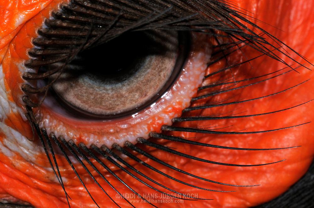 DEU, Deutschland: Auge eines Suedlichen Hornraben oder Kaffernhornraben (Bucorus leadbeateri), Augentyp: Linsenauge; der Bereich um die Augen ist unbefiedert und kraeftig rot gefaerbt, umsaeumt werden die Augenlider von drahtartigen schwarzen, auffallend langen Wimpern; Augengroesse ca. 10 mm, Krefeld, Nordrhein-Westfalen | DEU, Germany: Eye of a Southern Ground-hornbill (Bucorus leadbeateri), type of eye: lens eye, area around the eye is fledgeless and dark red, the eyelides ar lined with wirily black very long lashes, size of eye circa 10 mm, Krefeld, North Rhine-Westphalia