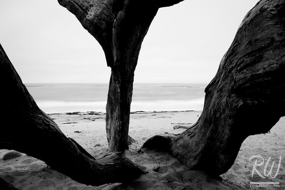 Black and White Photo of Monterey Cypress Tree Trunks at Carmel Beach, Carmel-by-the-Sea, California<br />