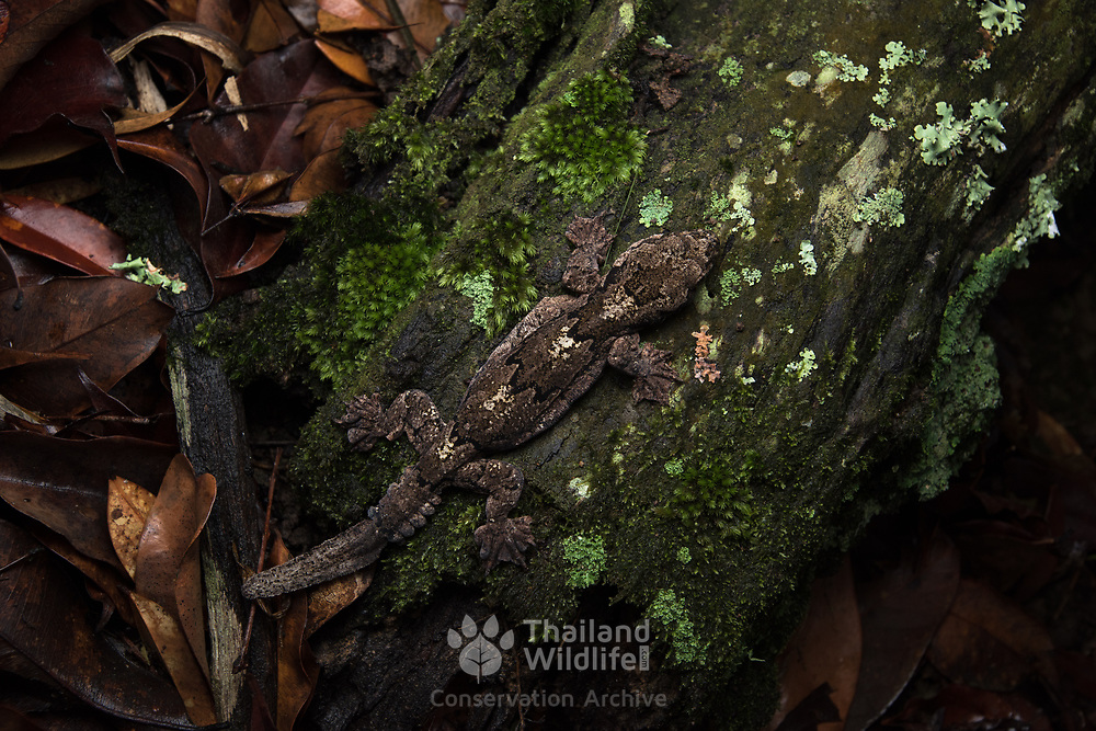 Kaeng Krachan Parachute Gecko (Ptychozoon kaengkrachanense) in Kaeng Krachan national park, Thailand