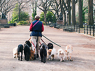 Professional dogwalker on the Mall in Central Park, New York City.