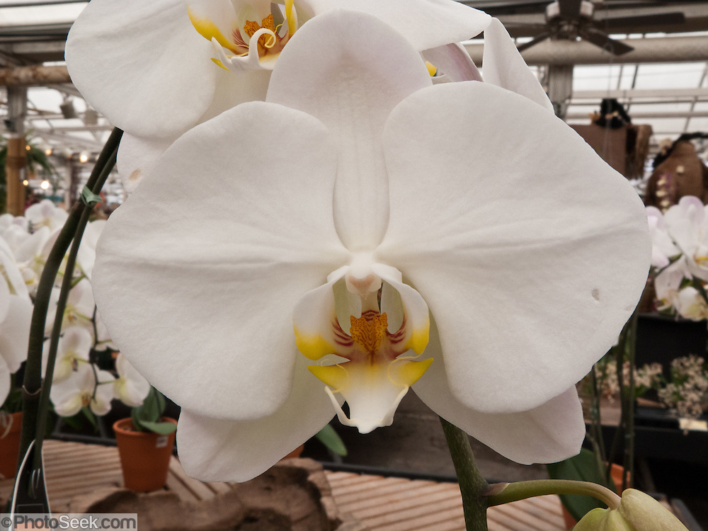 Phalaenopsis Orchid or Moth Orchid from genus native to SE Asia and Northern Australia. Molbak's Garden & Home, Woodinville, Washington.