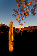 The last rays of light hit a cactus and Elephant tree growing in the lava flow of the Tres Virgenes, Baja California Sur, Mexico