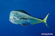 mahi-mahi, dorado, or dolphin fish, Coryphaena hippurus, large bull ( male ) with copepod parasites - silver color phase (photo taken minutes after image 033670), Louisiana, U.S.A. ( Gulf of Mexico )