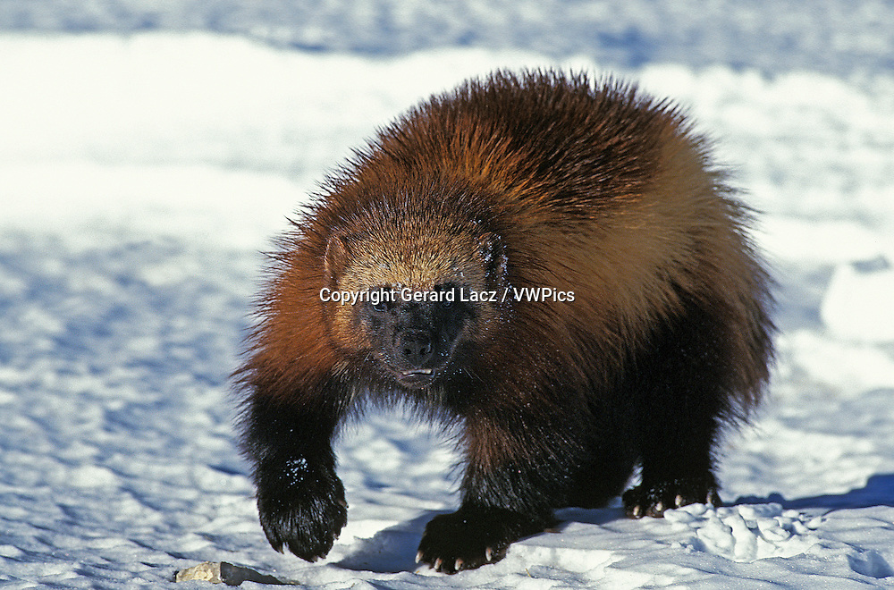North American Wolverine, gulo gulo luscus, Adult standing on Snow, Canada