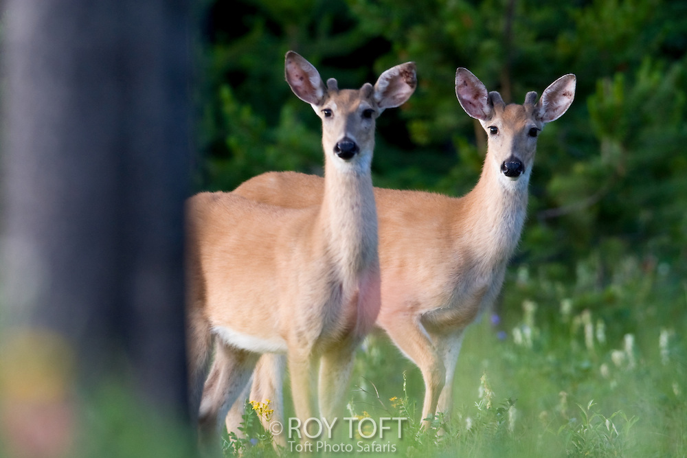 Two white-tailed Deer (Odocoileus virginianus) young males standing in summer meadow, British Columbia