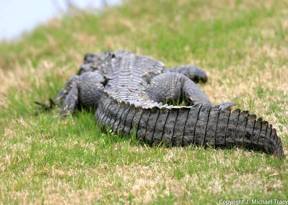 Alligator, tail end, basking in the Jekyll Island sun.
