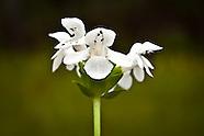 Lamiaceae (Mints)