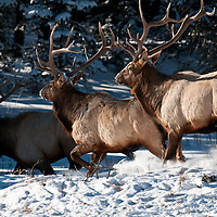 bull elk runing though the snow montana