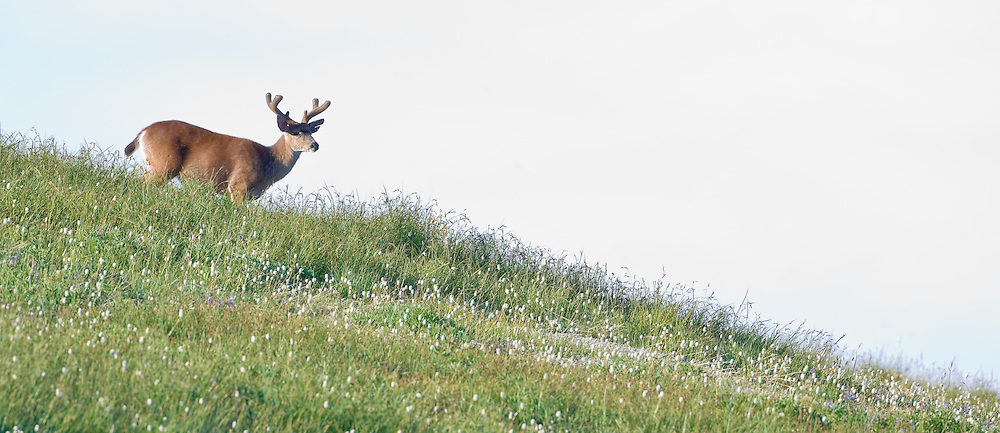 A Columbia Black-Tail Deer (Odocoileus hemionus columbianus) with antlers covered with velvet moves down ridge in a meadow at Hurricane Ridge in Olympic National Park, Washington, USA.