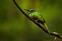 White-chinned Jacamar (Galbula tombacea) along Anangu creek in Yasuni National Park, Orellana Province, Ecuador