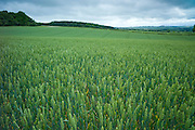 Wheat field cereal crop in The Cotswolds, Oxfordshire, UK