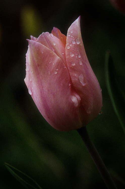 Analog Photograph of a pink tulip in the rain.