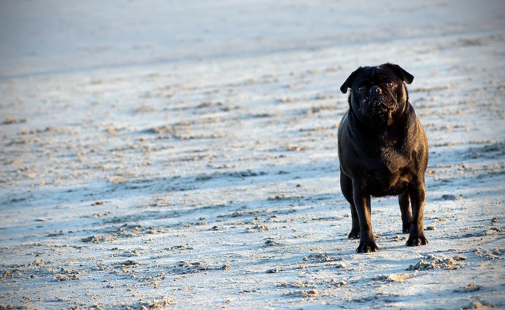 Black Pug on the beach
