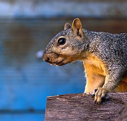 A squirrel cautiously eyes the terrain before leaping from a fence.