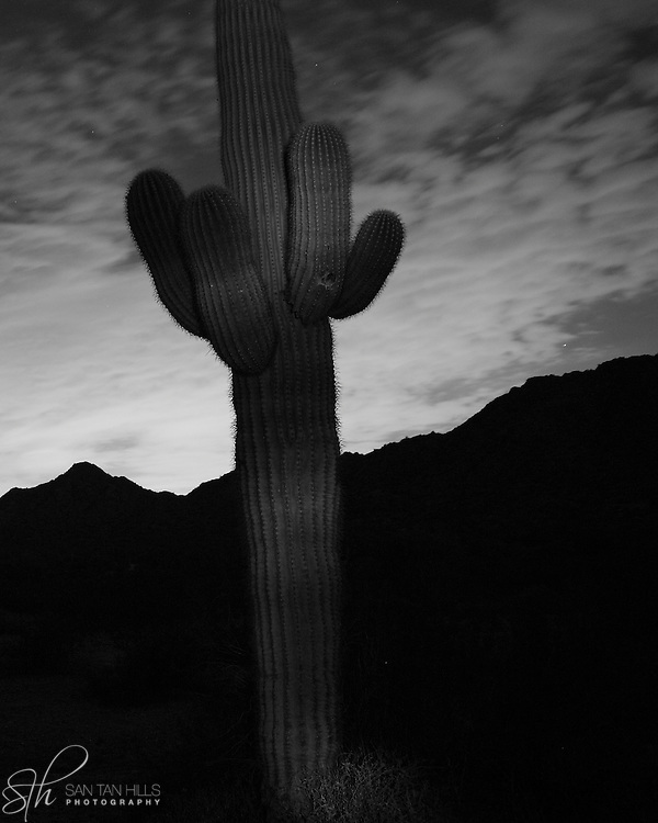 Tall saguaro cactus by night at San Tan Regional Park - Queen Creek, AZ