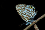 Common Zebra Blue (Leptotes pirithous) from Berenty, southern Madagascar.