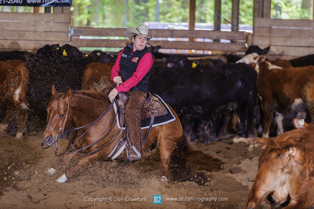 May 20, 2017 - Minshall Farm Cutting 3, held at Minshall Farms, Hillsburgh Ontario. The event was put on by the Ontario Cutting Horse Association. Riding in the Non-Pro Class is Karen Hudon on Little Zack Lena owned by the rider.